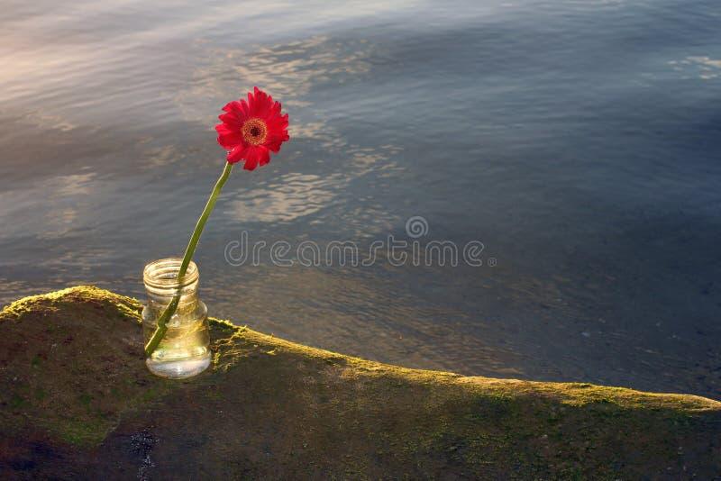 在海大鹏的唯一红色大丁草花在透明花瓶 免版税库存照片