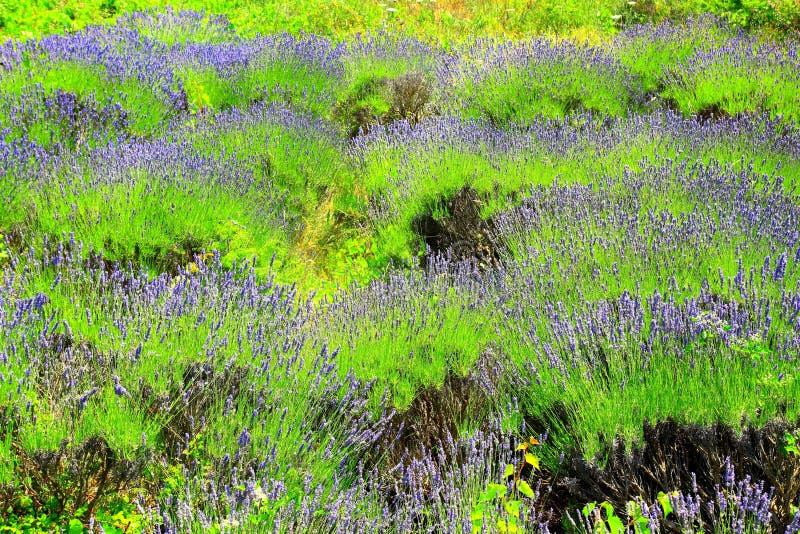 在海岛赫瓦尔岛,克罗地亚上的淡紫色领域 免版税库存照片