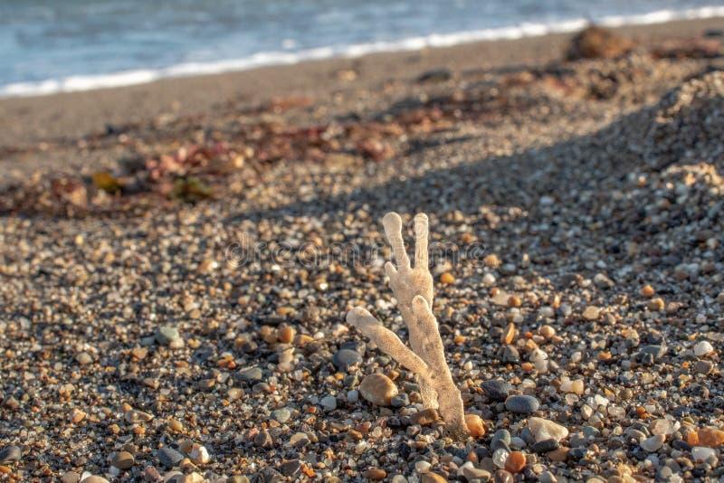 在海岸的干燥,白色鹿角菜青苔 免版税库存照片