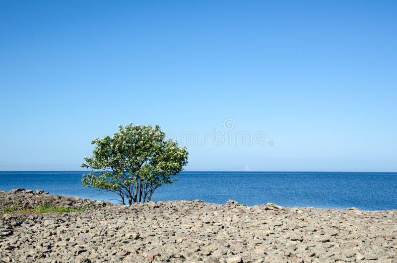 在海岸的开花孤立whitebeam树 免版税库存图片
