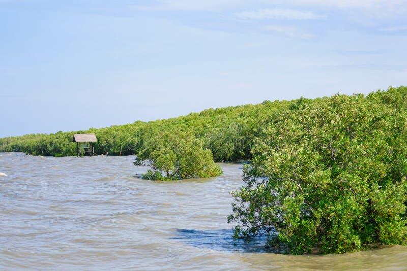 在海岸的美洲红树森林热带雨林在泰国 库存图片