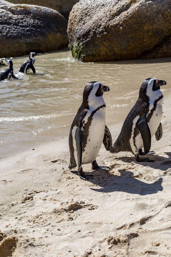 在海岸线的企鹅沿开普敦半岛,南非 图库摄影