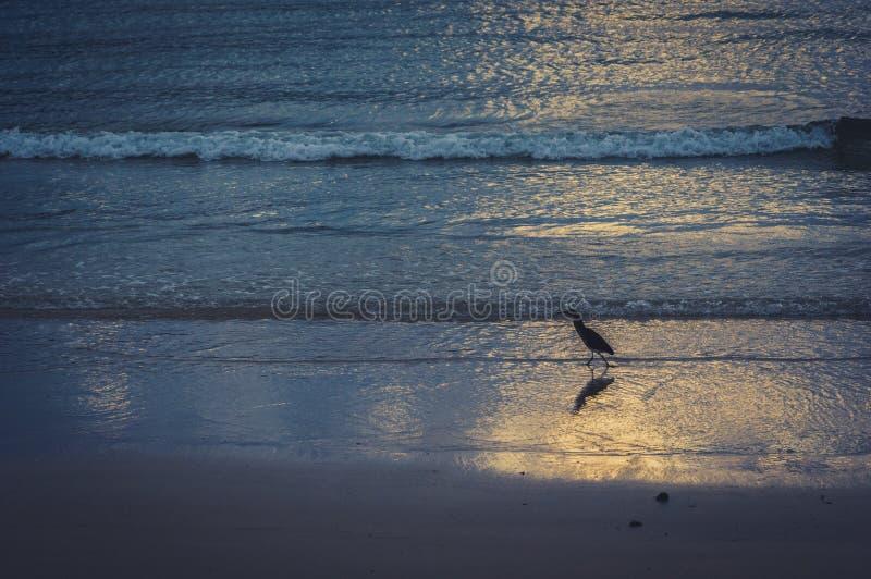 在海岸线的涉水鸟日落的 免版税库存图片
