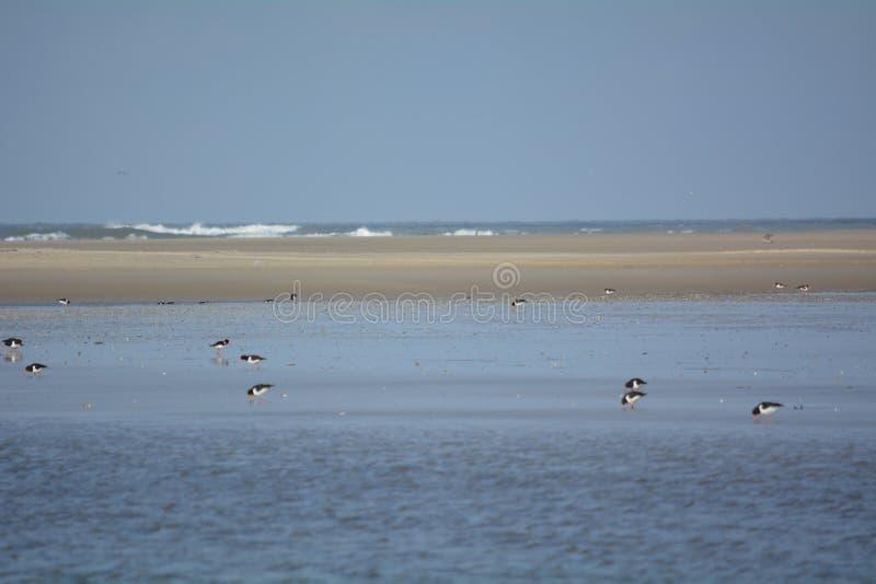 在海岸线的蛎鹬 免版税库存照片