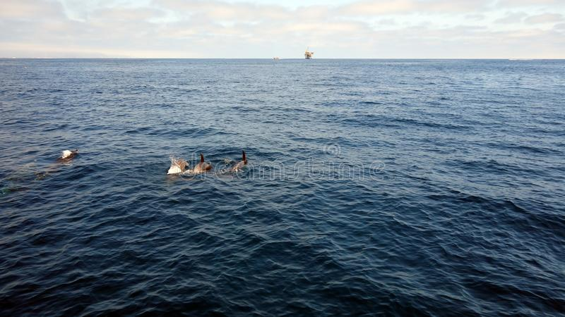 在海峡群岛,加利福尼亚附近的海豚 免版税库存图片