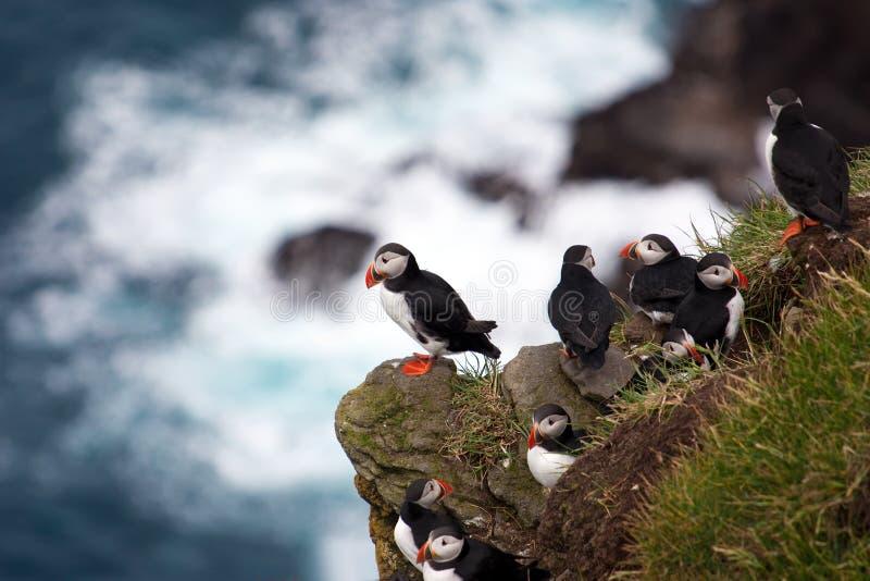 在海峭壁的海鹦 免版税库存照片