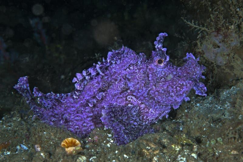 在海底上的Rhinopias frondosa蔓延的石头鲈 库存照片