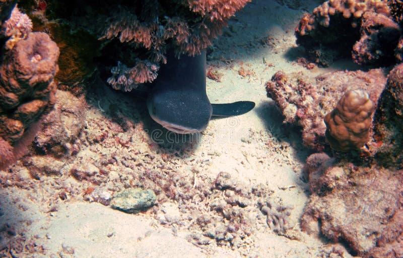 在海底的礁石鲨鱼 免版税库存图片