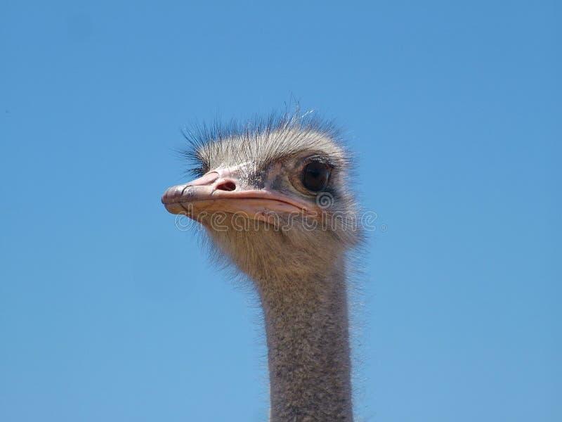 在海得尔堡附近的驼鸟在南非 免版税库存照片