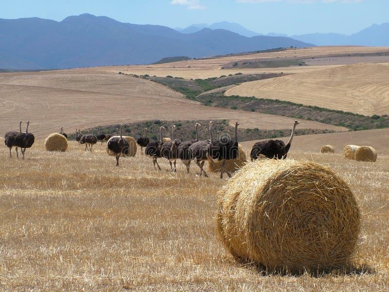在海得尔堡,南非附近的驼鸟 库存图片