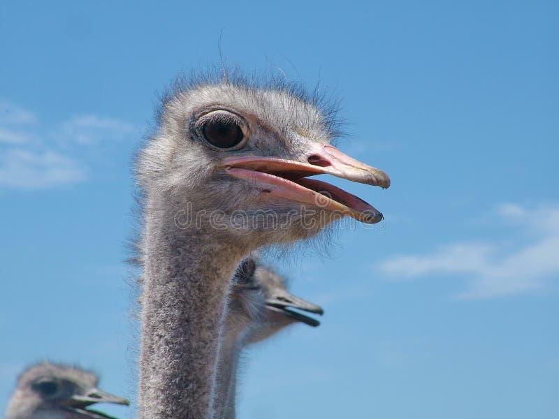在海得尔堡,南非附近的驼鸟 免版税图库摄影