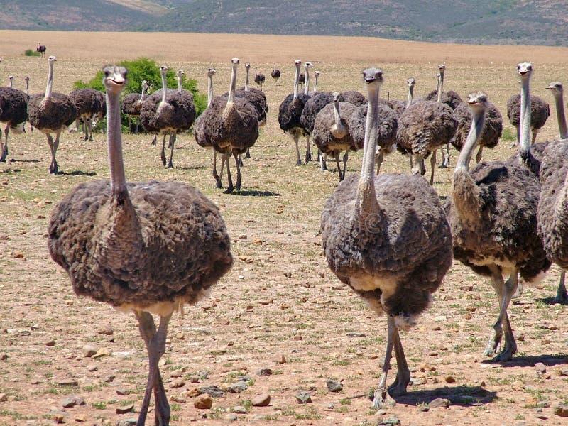 在海得尔堡,南非附近的驼鸟 免版税库存图片