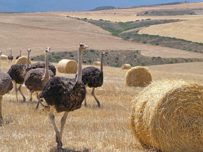 在海得尔堡,南非附近的驼鸟 免版税库存照片