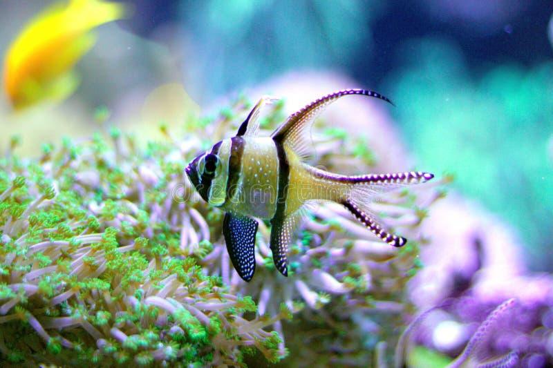 在海水水族馆的邦盖群岛深红鱼 免版税库存图片