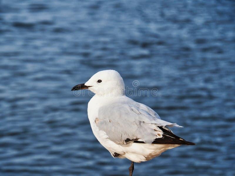 在海洋旁边的一条腿栖息的健康海鸥 免版税库存图片