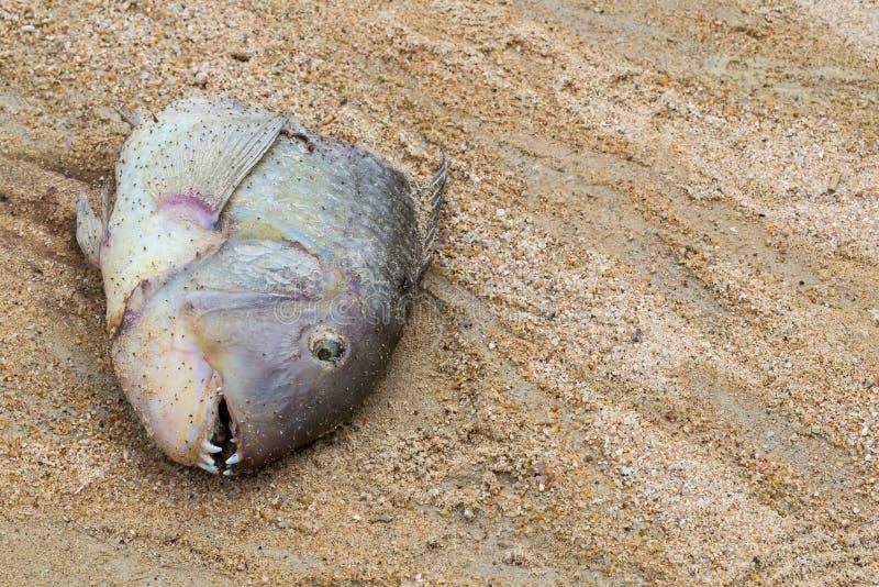 在海洋特写镜头抛出的沙子背景的顶头热带鱼锋利的牙齿鳃 免版税库存照片