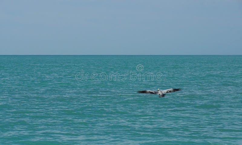 在海洋的鹈鹕飞行 免版税库存照片