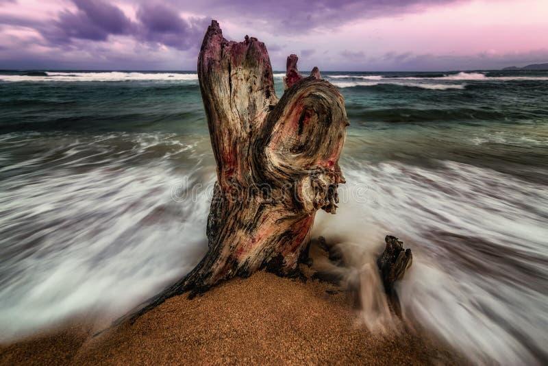 在海浪的被打击的树桩 库存图片