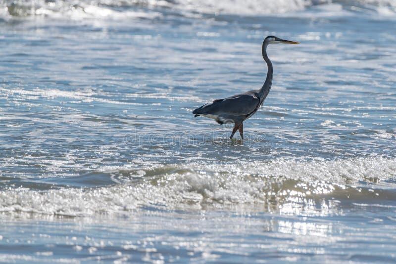 在海浪的起重机狩猎鱼 库存照片