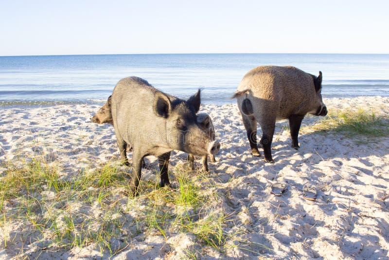 在海海滩含沙海岸的狂放的猪家庭步行 库存图片