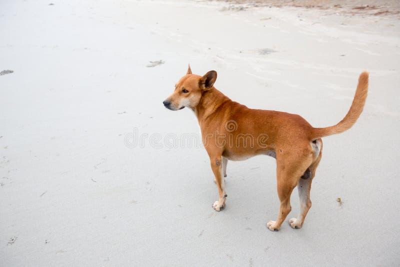 在海海滩的沮丧 懒惰狗懒惰是舒展在海海滩夏天早晨 放松及时休假是概念 免版税库存图片