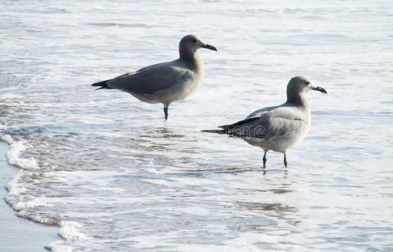 在海海滩的海鸥在波浪 图库摄影