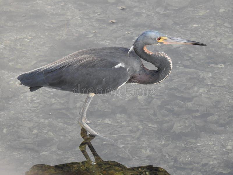 在海湾的三色苍鹭在日落 免版税库存照片
