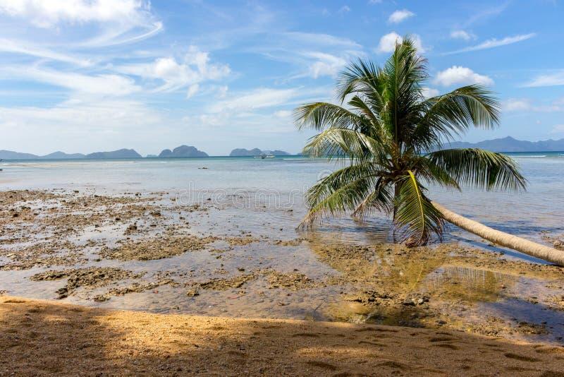 在海滨的下落的棕榈树在低潮期间 菲律宾,海岛巴拉旺岛,El Nido海滩 热带假期和旅游业 免版税库存照片