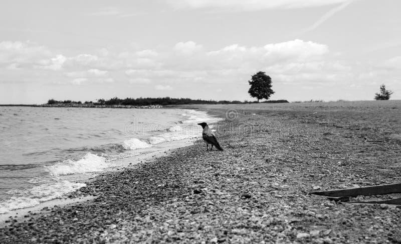 在海滨的1只鸟,在芬兰湾的海岸,在天际的1棵树的乌鸦 库存照片