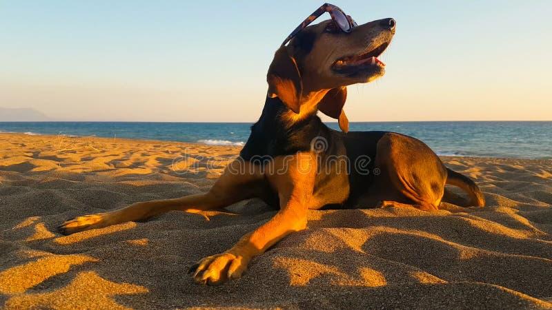 在海滩佩带的太阳镜的愉快的狗 逗人喜爱的片刻 库存照片