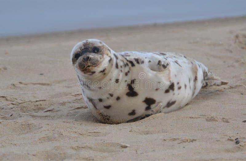 在海滩冬天休息的年轻封印 库存照片