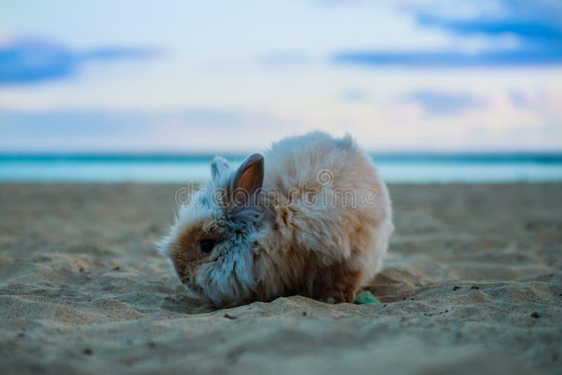 在海滩宠物的滑稽的兔子 库存图片