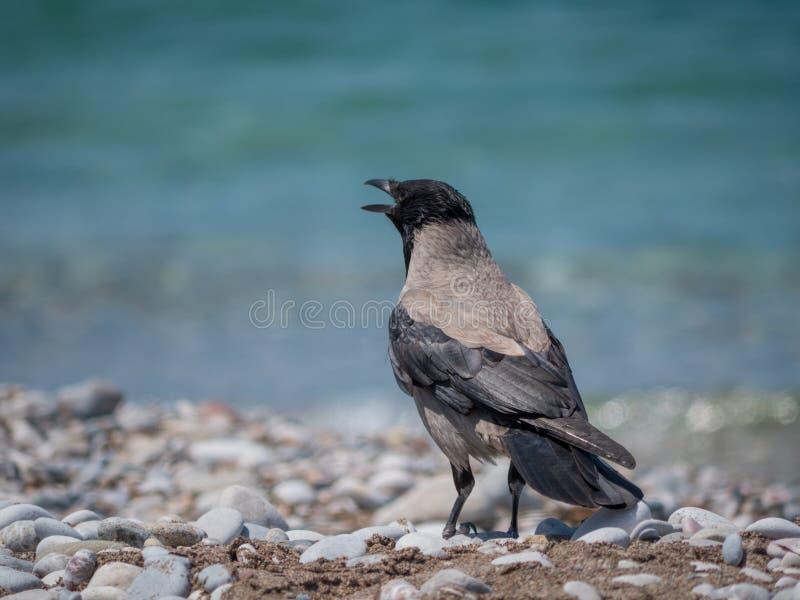 在海滩接近的画象的成人乌鸦 库存图片