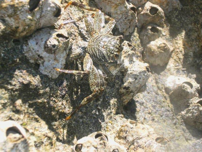 在海滩的一个螃蟹 免版税库存照片