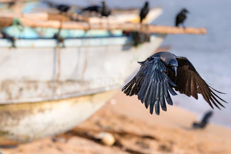 在海滩的一次黑掠夺鸟着陆在加勒,斯里兰卡 免版税库存图片