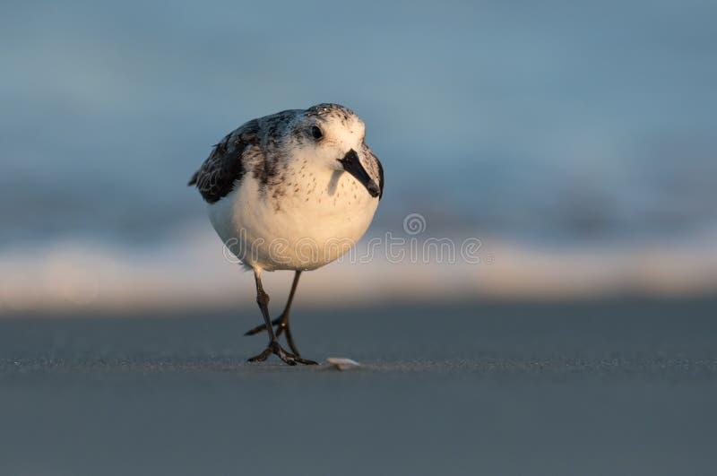 在海滩的三趾滨鹬 图库摄影