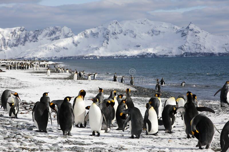 在海滩的企鹅国王南乔治亚的索尔兹伯里平原 库存照片