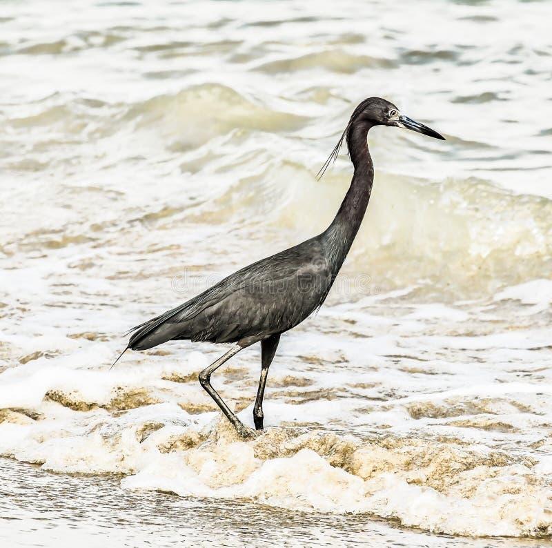 在海滩的伟大蓝色的苍鹭的巢,在哥斯达黎加中美洲 免版税库存照片