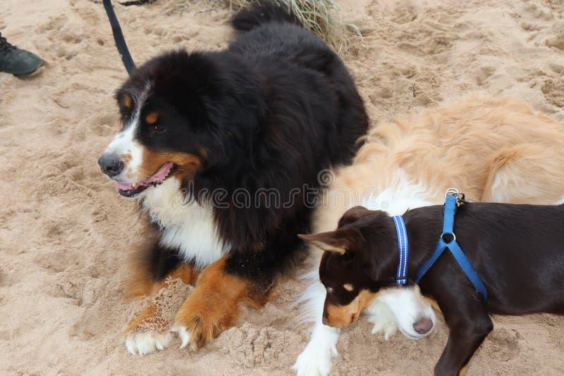 在海滩的友好的狗 库存照片