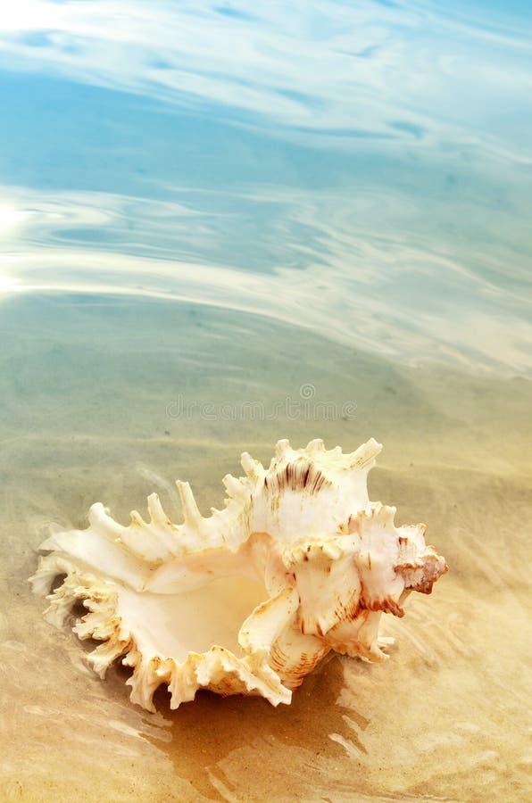 在海滩的唯一壳,在沙子的贝壳 库存照片