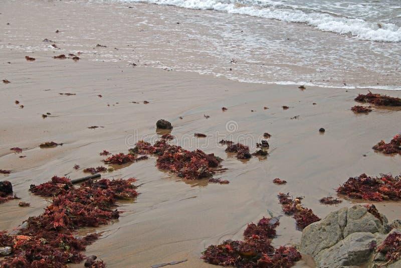 在海滩的回流水与红色海草 库存照片