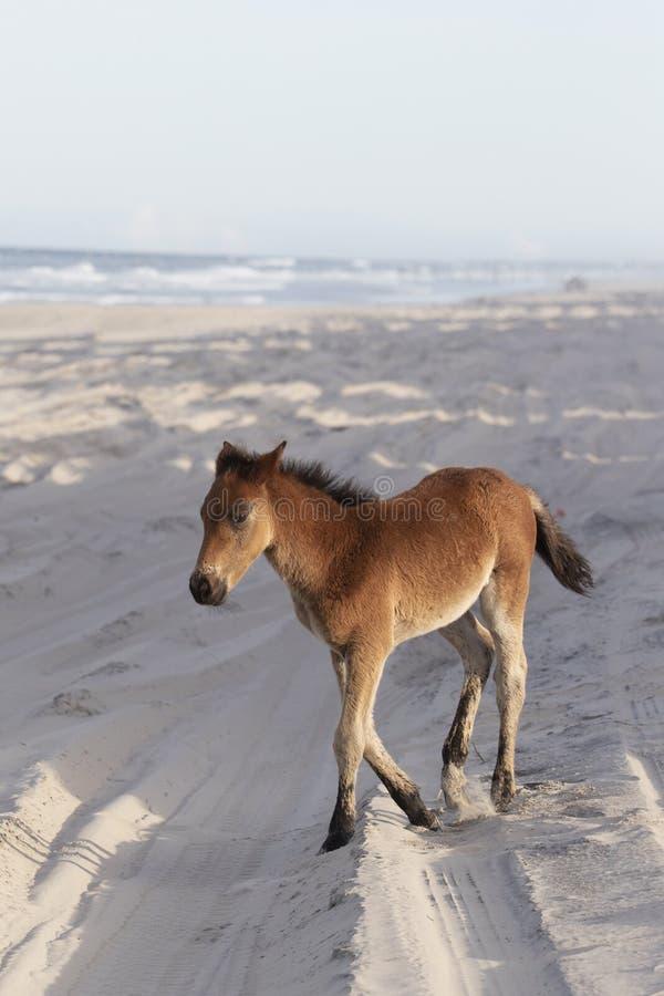 在海滩的外滩群岛野马 库存图片