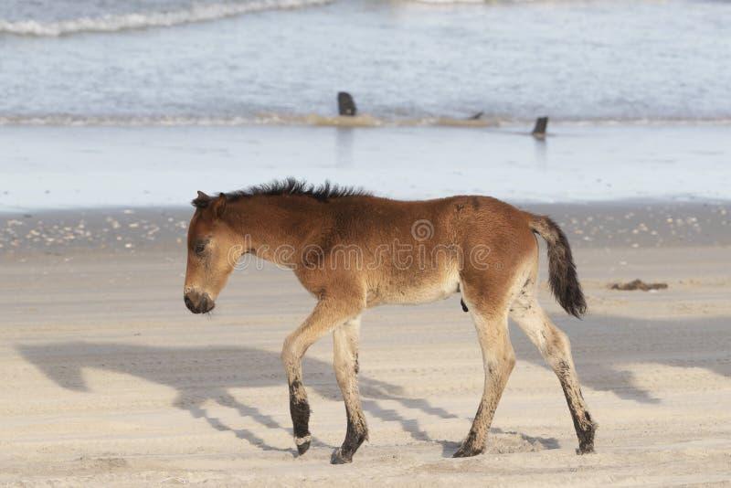 在海滩的外滩群岛野马 库存照片