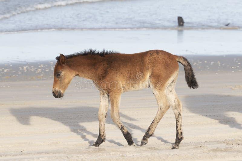 在海滩的外滩群岛野马 免版税库存照片