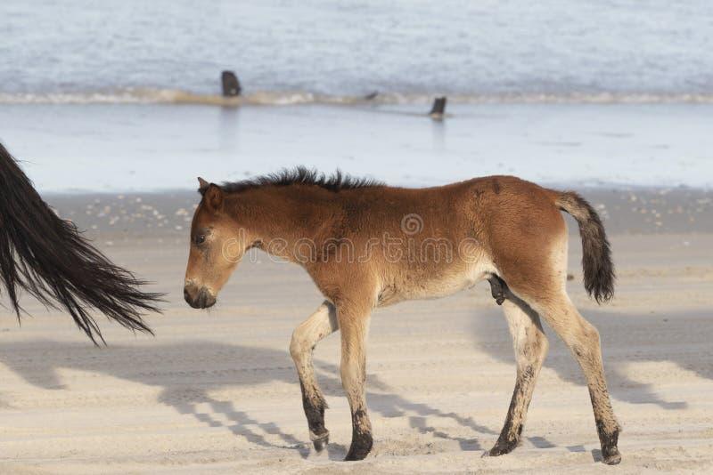 在海滩的外滩群岛野马 免版税图库摄影