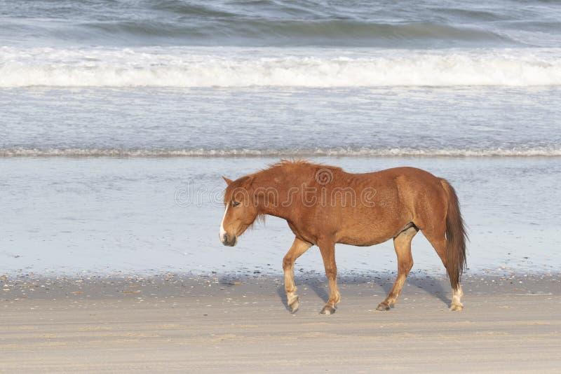 在海滩的外滩群岛野马 免版税库存图片