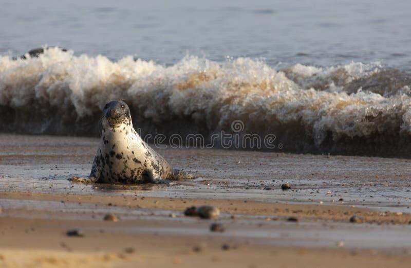 在海滩的大西洋灰色封印 库存照片