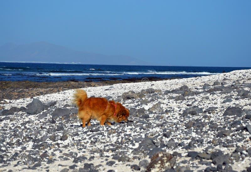 在海滩的姜狗 图库摄影