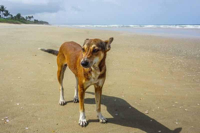 在海滩的孤独的小狗在果阿,印度 库存图片