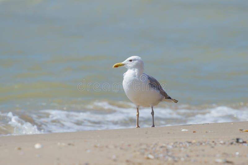 在海滩的孤独的海鸥 库存照片